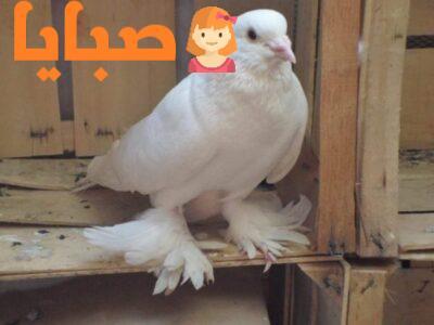 انواع حمام الزينة والمسابقاتفي مصر والدول العربية 2020