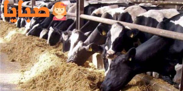 سعر كيلو اللحم القائم في مصر اليوم 2020