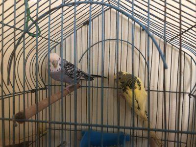 طريقة تربية العصافير الاسترالي الصحيحة الشرح بالفيديو والصور خطوة بخطوة