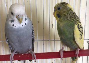 طريقة تربية العصافير الاسترالي